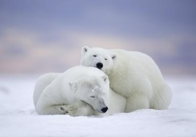 北极熊,雪,冬天,5k图片