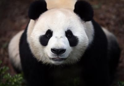 熊猫4k图片