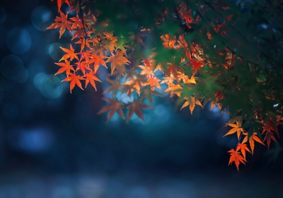 秋天枫树红枫叶4k壁纸